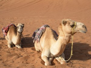 Before breakfast, a camel ride. And you thought you had bad breath in the morning...